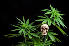 Skull and Green Cannabis Leaf on Black Background Royalty Free Stock Image
