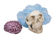 Skull with Hair Net with Brains Nearby Stock Photo