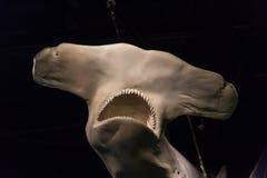 Skull of Hammerhead Shark. With sharp teeth Stock Photography