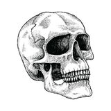 Skull hand drawing engraving illustration. Clip art isolated on white background Stock Photos