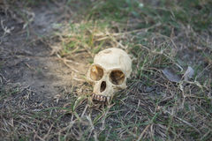 Skull head abandoned in deep forest putting on grass long time,. Small skull head abandoned in deep forest putting on grass long time, this image for nature and stock image