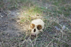Skull head abandoned in deep forest putting on grass long time,. Small skull head abandoned in deep forest putting on grass long time, this image for nature and royalty free stock photos
