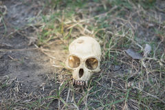 Skull head abandoned in deep forest putting on grass long time,. Small skull head abandoned in deep forest putting on grass long time, this image for nature and stock photo