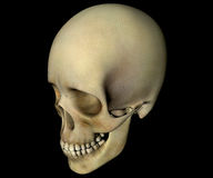 Skull head anatomy Stock Image