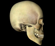 Skull head anatomy Royalty Free Stock Photos