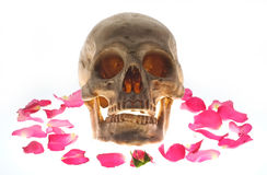Skull head and rose petals. Stock Photo