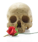 Skull head and rose. Royalty Free Stock Image
