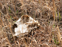 Skull in herb Stock Image