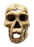 Skull of Erectus stock photo