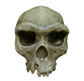 The skull of Homo erectus on white background Royalty Free Stock Images