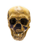 Skull of Neanderthalensis stock image