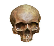 The skull of Homo sapiens sapiens on white background Stock Photography