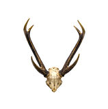 Skull and horns of deer Royalty Free Stock Photo