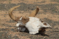 Skull of Horse and Cow Stock Photos