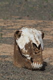 Skull of Horse and Cow Royalty Free Stock Photography