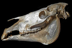 Skull of horse Royalty Free Stock Photography
