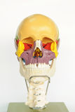 Skull human anatomy Stock Photos
