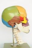 Skull human anatomy. Close up to skull human anatomy royalty free stock photography