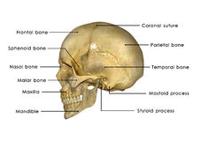 Skull. The human skull is a bony structure, the head in the skeleton, which supports the structures of the face and forms a cavity for the brain stock images