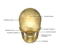 Skull. The human skull is a bony structure, the head in the skeleton, which supports the structures of the face and forms a cavity for the brain royalty free stock image