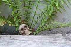 Skull human model Royalty Free Stock Photography