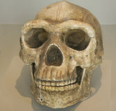 Skull from indigenous native in Peru Stock Photography