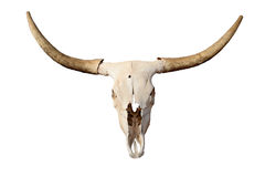 Skull isolated. Steer skull isolated - closeup of longhorn skull Stock Photo