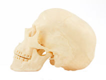 Skull isolated on  white background Stock Photos