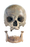 Skull and jaw. Stock Images