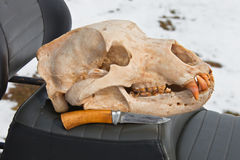 Skull Kamchatka brown bear and a hunting knife Royalty Free Stock Photo