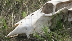 Skull of a large animal on the grass. The skull of a large animal on the grass stock footage