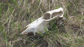 Skull of a large animal on the grass. The skull of a large animal on the grass. Zooming stock video