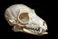 Skull of Lemur catta Stock Photos