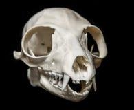 Skull of Lemur catta Royalty Free Stock Images
