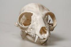 Skull of Lemur catta Royalty Free Stock Photography