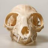 Skull of Lemur catta Royalty Free Stock Photo