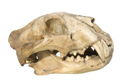 Skull leopard Royalty Free Stock Photography
