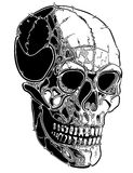 Skull lines Stock Images