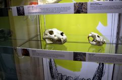 Skull of a lion and a beaver. Royalty Free Stock Photography