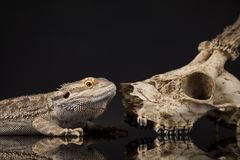 Lizard, Agama, Antlers, dragon and skull. Skull, Lizard, Agama, Antlers, dragon and skull stock images