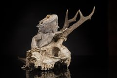 Lizard, Agama, Antlers, dragon and skull. Skull, Lizard, Agama, Antlers, dragon and skull stock photo