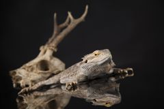 Lizard, Agama, Antlers, dragon and skull. Skull, Lizard, Agama, Antlers, dragon and skull stock photography