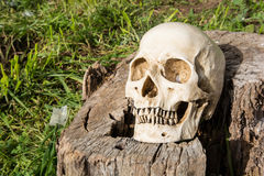 Skull with log on the sun Stock Image