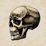 Skull man  colored painted Stock Photos