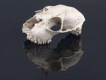 Skull and Mantis Parasphendale affinis on a black background Royalty Free Stock Image