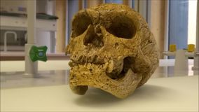 Skull model of a neanderthalensis neanderthal man in a science lab stock footage