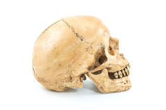 Skull model Stock Images