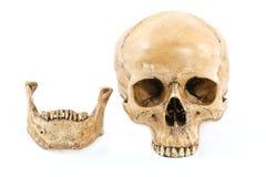 Skull model Stock Photo