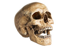 Skull model stock photography