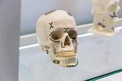Skull model Royalty Free Stock Photos